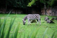 Pascolo della zebra Fotografie Stock Libere da Diritti