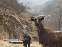Pascolo delle capre Immagine Stock Libera da Diritti