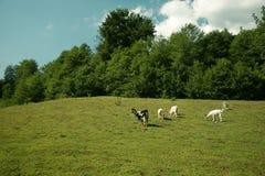 pascolo delle capre Fotografie Stock Libere da Diritti