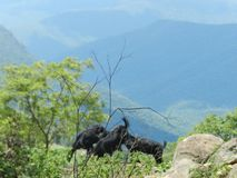 Pascolo delle capre in mezzo alla foresta densa fotografie stock
