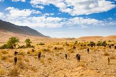 Pascolo delle capre nel Marocco del sud Immagini Stock