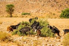 Pascolo delle capre nel Marocco del sud Fotografie Stock Libere da Diritti