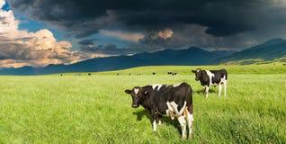 Pascolo delle mucche Fotografia Stock Libera da Diritti