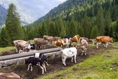 Pascolo delle mucche Immagini Stock Libere da Diritti