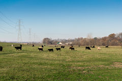 Pascolo delle mucche Immagini Stock