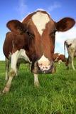 Pascolo delle mucche Fotografie Stock Libere da Diritti