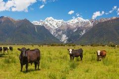 Pascolo delle mucche con le alpi del sud nei precedenti, la Nuova Zelanda Immagini Stock Libere da Diritti