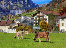 Pascolo delle mucche a Engelberg Fotografia Stock