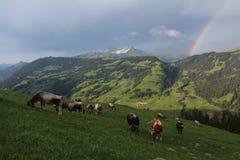 Pascolo delle mucche nel Bernese Oberland Immagini Stock Libere da Diritti