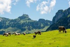 Pascolo delle mucche nelle belle alpi di Appenzell fotografia stock libera da diritti