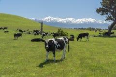 Pascolo delle mucche In qualche luogo in Nuova Zelanda fotografia stock libera da diritti