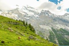Pascolo delle mucche sopra il lago Oeschinen immagine stock libera da diritti