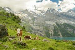 Pascolo delle mucche sopra il lago Oeschinen fotografia stock libera da diritti