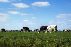Pascolo delle mucche sotto un cielo blu Immagine Stock