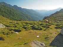 Pascolo delle mucche su un prato della montagna in un houre dorato immagine stock libera da diritti