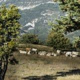 Pascolo delle mucche sul pascolo dell'alta montagna Immagini Stock