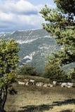 Pascolo delle mucche sul pascolo dell'alta montagna Immagini Stock Libere da Diritti