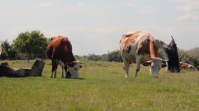 Pascolo delle mucche sul pascolo Fotografie Stock