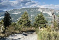 Pascolo delle mucche sul pascolo dell'alta montagna Immagine Stock Libera da Diritti