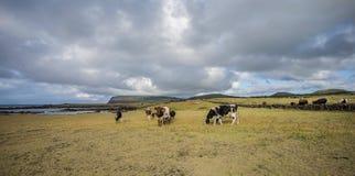 Pascolo delle mucche sull'isola di pasqua immagini stock
