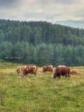 Pascolo delle mucche triste Fotografia Stock
