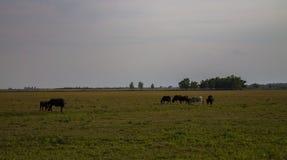 Pascolo delle mucche in un campo enorme fotografia stock