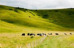 Pascolo delle mucche in valey verde Immagini Stock Libere da Diritti