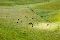Pascolo delle mucche in valey verde Immagine Stock