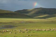 Pascolo delle pecore Fotografia Stock Libera da Diritti