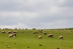Pascolo delle pecore Immagini Stock Libere da Diritti