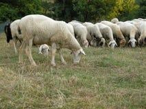 pascolo delle pecore Immagine Stock
