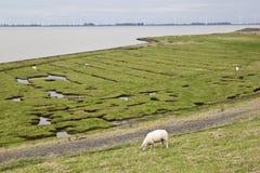 Pascolo delle pecore al calcio van Reide, Paesi Bassi del nord Fotografia Stock Libera da Diritti