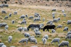 Pascolo delle pecore con gli asini del guardiano Fotografia Stock Libera da Diritti