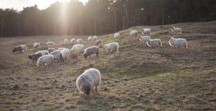 Pascolo delle pecore cornute al tramonto sull'attracco vicino a Zeist e a utrec Fotografia Stock