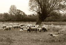 Pascolo delle pecore del nerd sul prato Immagini Stock