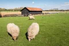 Pascolo delle pecore della brughiera del Drenthe Fotografia Stock