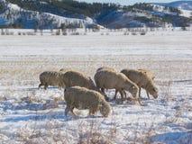 Pascolo delle pecore nell'inverno Immagini Stock