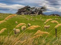 Pascolo delle pecore in Nuova Zelanda Fotografia Stock
