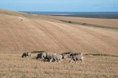 Pascolo delle pecore su un'azienda agricola asciutta fotografie stock