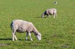 Pascolo delle pecore un giorno soleggiato nella primavera Fotografie Stock