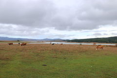 Pascolo di Al di Vacche Immagine Stock