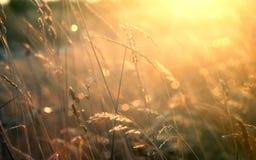 Pascolo di estate con bokeh, sfuocatura e luce solare dorata Immagine Stock