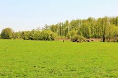 pascolo greenery mucche Immagini Stock Libere da Diritti