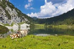 Pascolo idillico nelle montagne con le mucche Immagine Stock