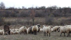 Pascolo le pecore e dell'asino stock footage