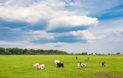 Pascolo le pecore e delle capre Immagini Stock