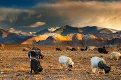 Pascolo le pecore e delle capre Immagini Stock Libere da Diritti
