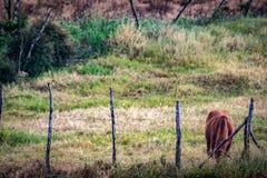 Pascolo occupato della singola mucca marrone fotografie stock libere da diritti
