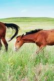 Pascolo puledro e del cavallo nella campagna immagini stock libere da diritti