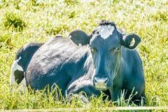 Pascolo soleggiato di illuminazione di mattina con le mucche dell'azienda agricola Immagini Stock Libere da Diritti